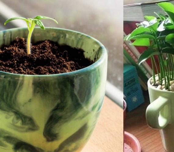 plantando limao na xicara