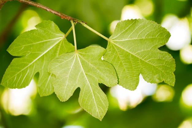 folhas da figueira